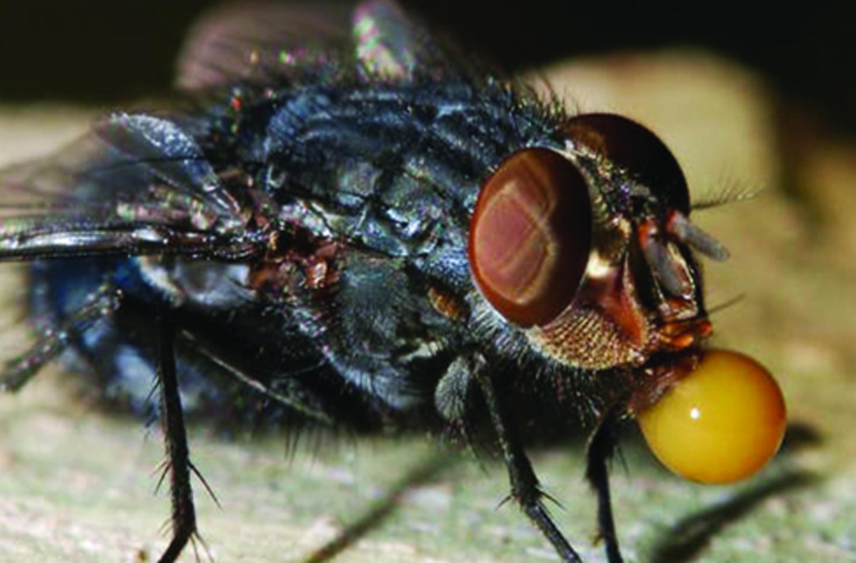 lalat kotori makanan